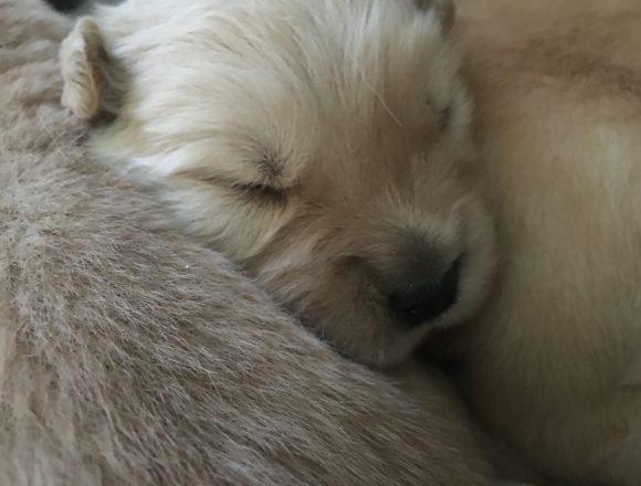 ゴールデンレトリーバー「キンカン」の子犬の哺乳第二弾!