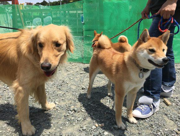 休日のワンブー ゴールデンレトリーバー「ソラ」と柴犬「五郎丸」「六平太」