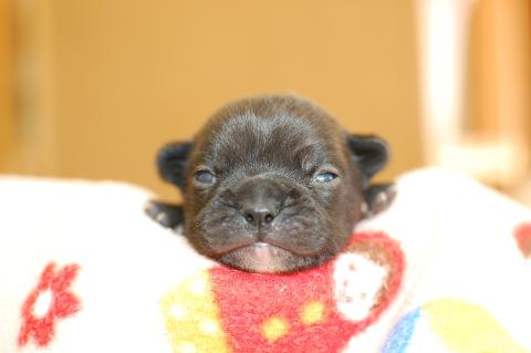フレンチブルドッグの子犬の写真201311273