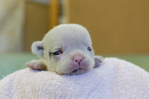 フレンチブルドッグの子犬の写真201311276