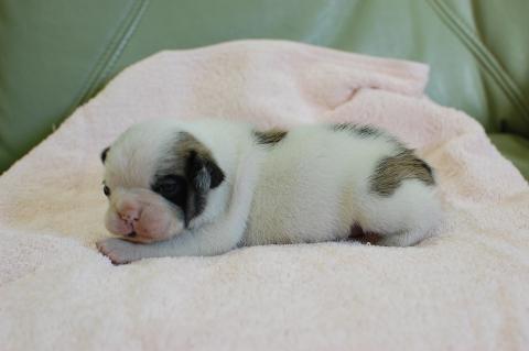 フレンチブルドッグの子犬の写真201311271-2