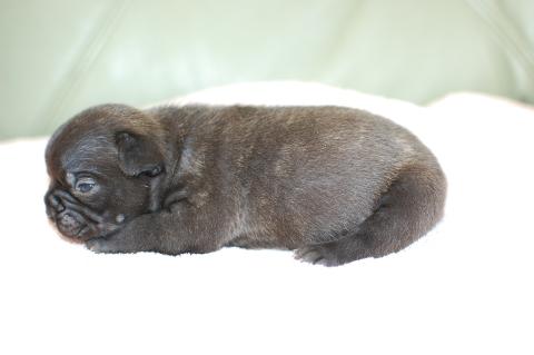 フレンチブルドッグの子犬の写真201311273-2