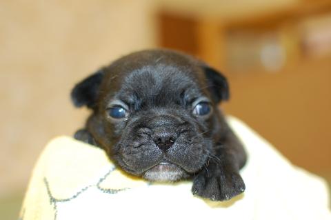 フレンチブルドッグの子犬の写真201311272