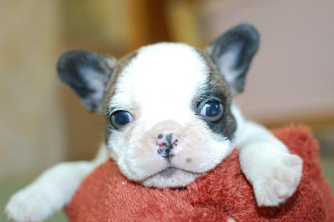 フレンチブルドッグの子犬の写真201311271