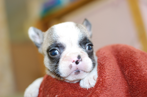 フレンチブルドッグの子犬の写真201311275