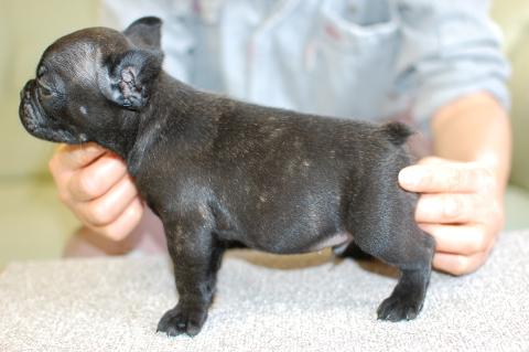 フレンチブルドッグの子犬の写真201311272-2