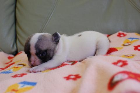 フレンチブルドッグの子犬の写真201311276-2