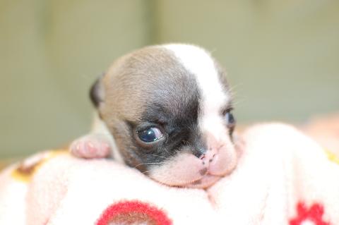 フレンチブルドッグの子犬の写真201406281