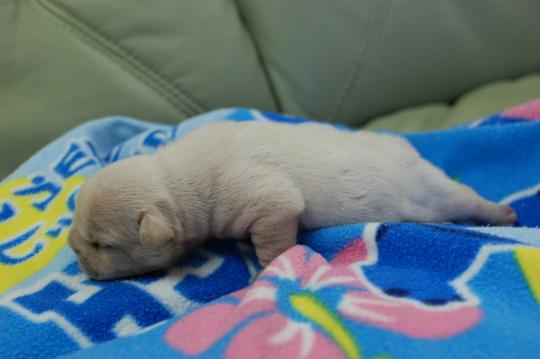 フレンチブルドッグの子犬の写真201410193-2