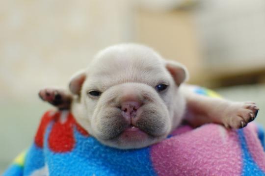 フレンチブルドッグの子犬の写真201410194