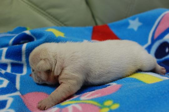 フレンチブルドッグの子犬の写真201410194-2