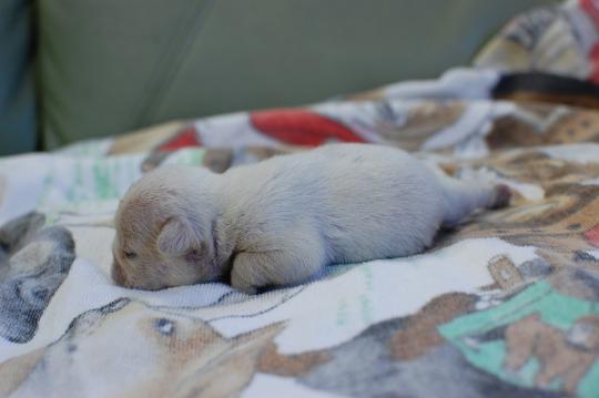 フレンチブルドッグの子犬の写真201410192-2