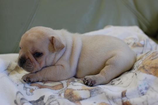 フレンチブルドッグの子犬の写真201410191-2