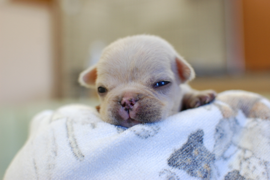 フレンチブルドッグの子犬の写真201410192