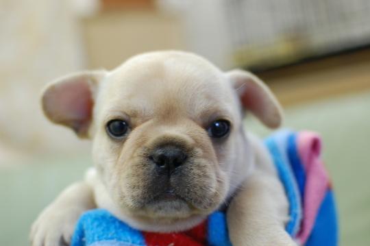 フレンチブルドッグの子犬の写真201410191