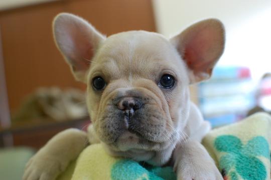 フレンチブルドッグの子犬の写真201410193