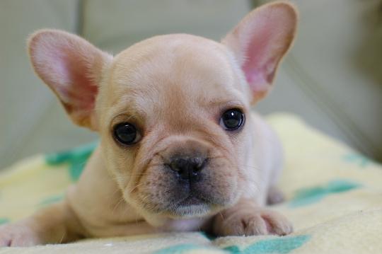 フレンチブルドッグの子犬の写真201410195