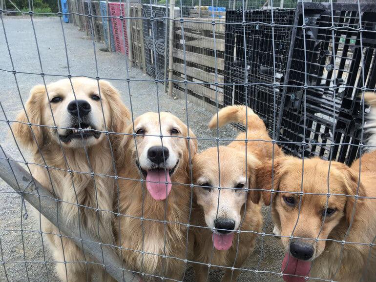 子犬 ゴールデン 無料 募集 レトリバー 里親 ゴールデンレトリバー|里親募集|ジモティー